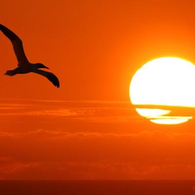 <b>... za slnkom </b> <br><br> na ostrove HELGOLAND som bol niekoľkokrát. Tereje, alebo teda Sula biela je neskutočne krásny vták. Klasických letoviek, odletoviek, ako sedia na hniezde, ako sa jašteria mám vo fotobanke dosť. Ale chcel som mať aj fakt brutálny gýč s týmto krásavcom.