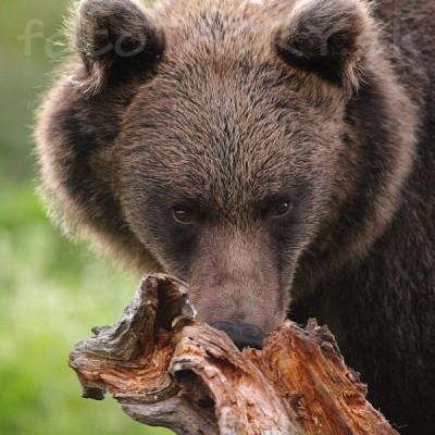 <b>Medveď hnedý tatranský</b> <br><br>Viac menej som ho čakal. V kryte. No i tak ma jeho veľkosť prekvapila. A keď som časom zistil, že mi pred objektív prišiel tak blízko, že som cítil jeho dych, nebolo mi všetko jedno.