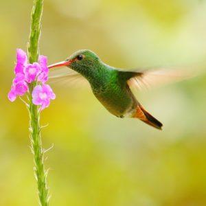 <b>KOLIBRÍK</b> <br><br> neskutočná krása a elegancia letu, jeho rýchlosť a krehkosť. To všetko a ešte oveľa viac su kolibríky.